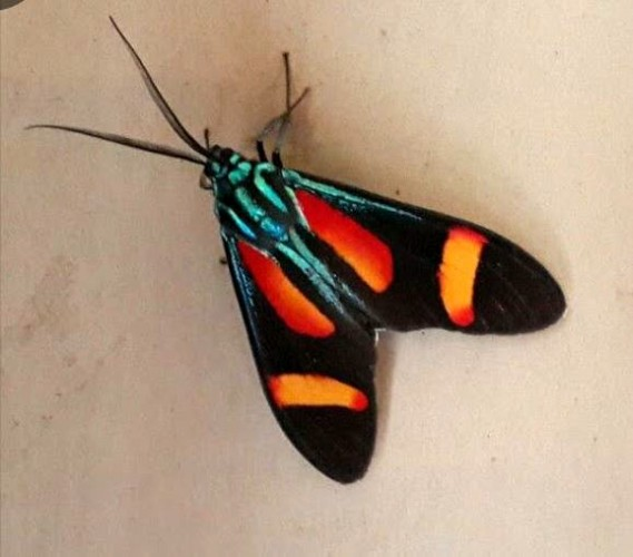 Cyanopepla submacula, metalmark moth (2)