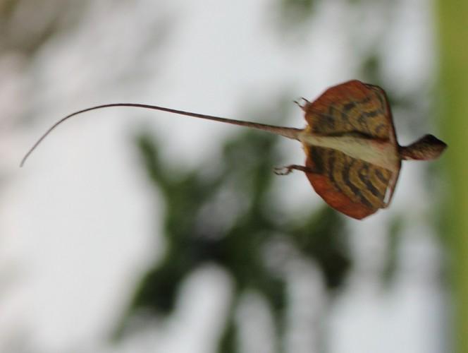 Draco quinquefasciatus, Five-banded Gliding Lizard (3)