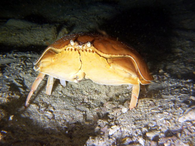 Calappa calappa, shame-faced crab (1)