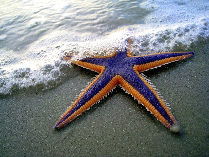 All Hail the Royal Starfish, Decadently Dressed in Purple and Gold