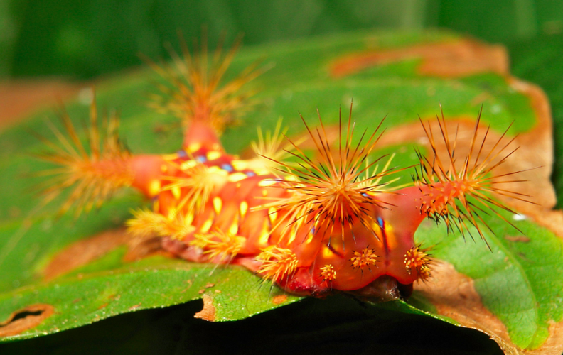 "Stinging Nettle Slug Caterpillar, Cup Moth, Limacodidae, ""Red Devil"", setora sp (1)"