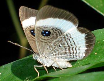 Croesus Eymark (Semomesia croesus