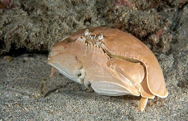 Calappa calappa, shame-faced crab (3)