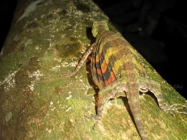 Draco quinquefasciatus, Five-banded Gliding Lizard (4)