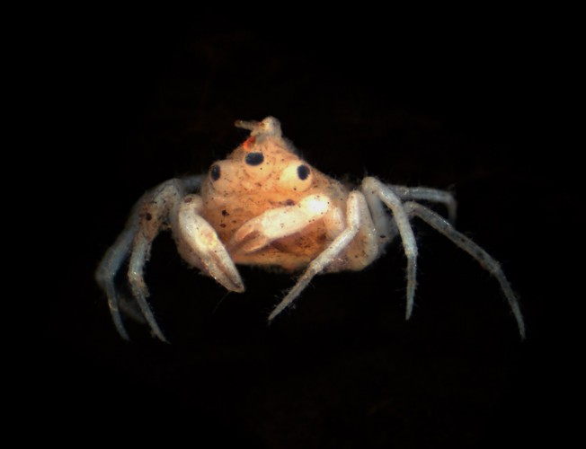 conjoined crab, blinky, Amarinus lacustris (2)