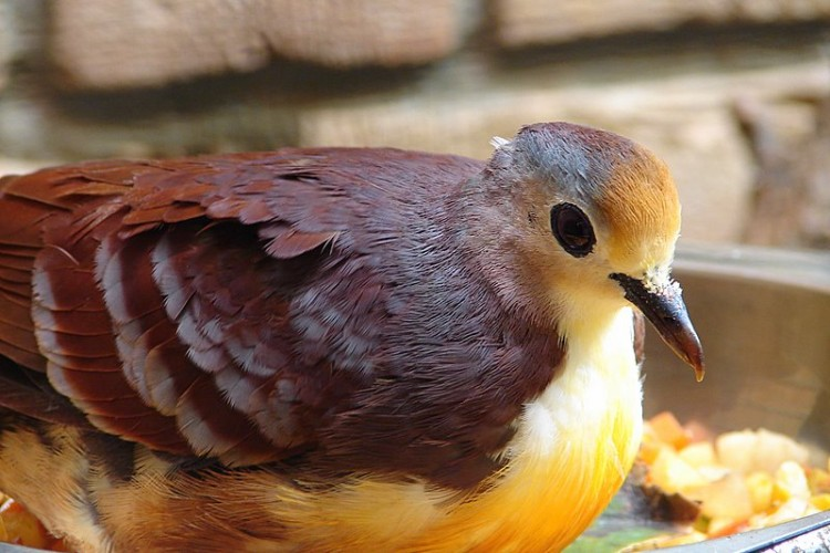 cinnamon ground dove, Gallicolumba rufigula, golden-heart dove (4)