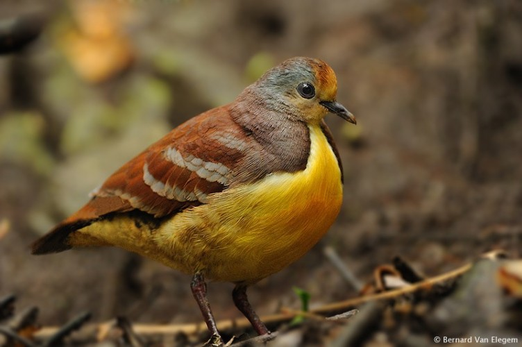 cinnamon ground dove, Gallicolumba rufigula, golden-heart dove (3)