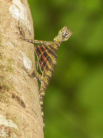 Draco quinquefasciatus, Five-banded Gliding Lizard (2)