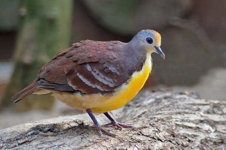 Cinnamon Ground Dove: Starting the Winter Season Off Right