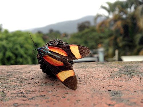 Cyanopepla submacula, metalmark moth (1)