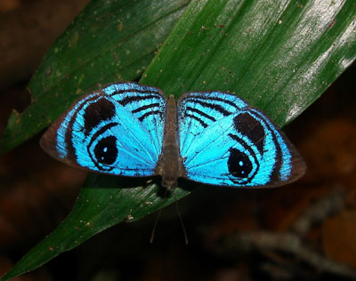Semomesia croesus, Croesus Eyemark (2)