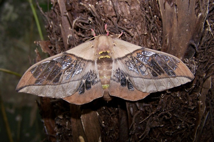Neorcarnegia basirei, clear-wing moth (3)