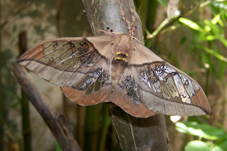 Neorcarnegia basirei: the Moth With Window Wings and Pink Leggies