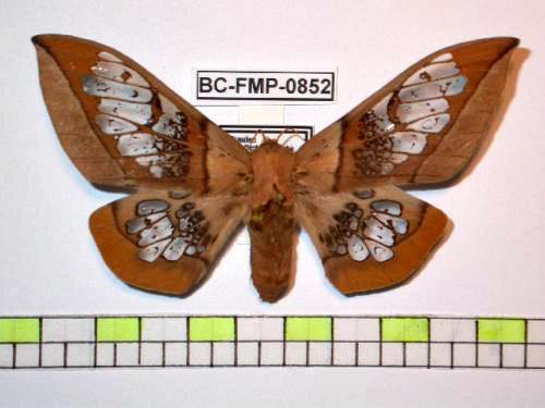Neorcarnegia basirei, clear-wing moth (1)
