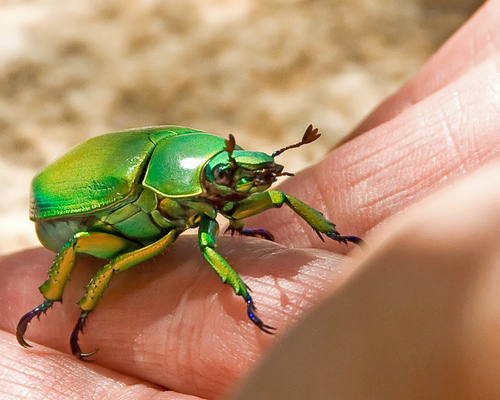 Chrysina woodi, shining leaf chafer (2)