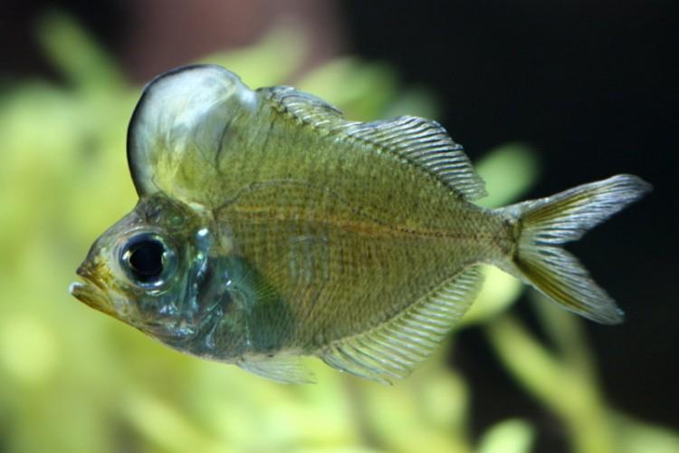 humphead glassfish, Parambassis pulcinella (3)