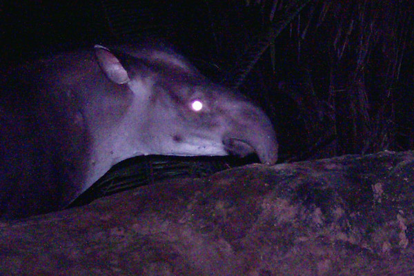 Mammal of the Century: New Species of Tapir Discovered in Brazil