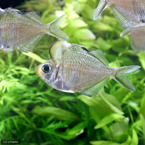 humphead glassfish, Parambassis pulcinella (4)