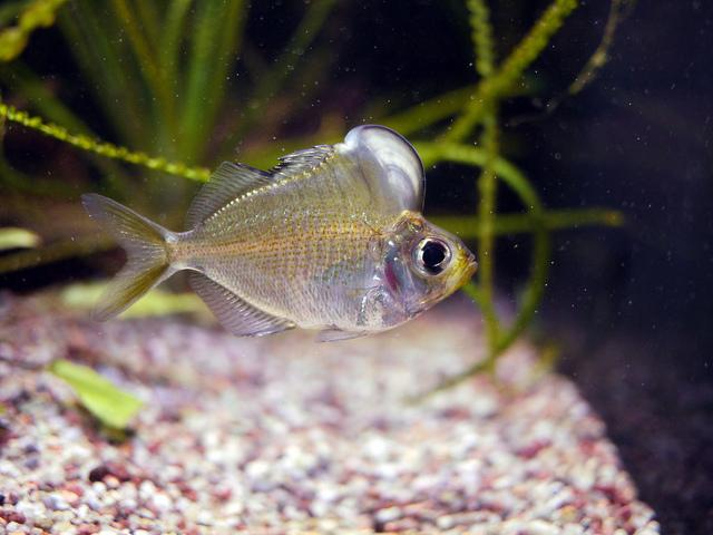humphead glassfish, Parambassis pulcinella (2)