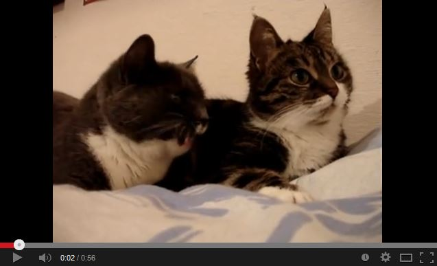 Video: Gossiping Cats