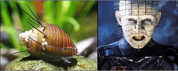 So the Hairy Trumpet Snail Is the Mollusk Version of Pinhead