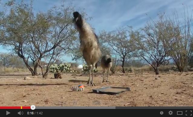 Video: Emus vs. the Dreaded Weasel Ball