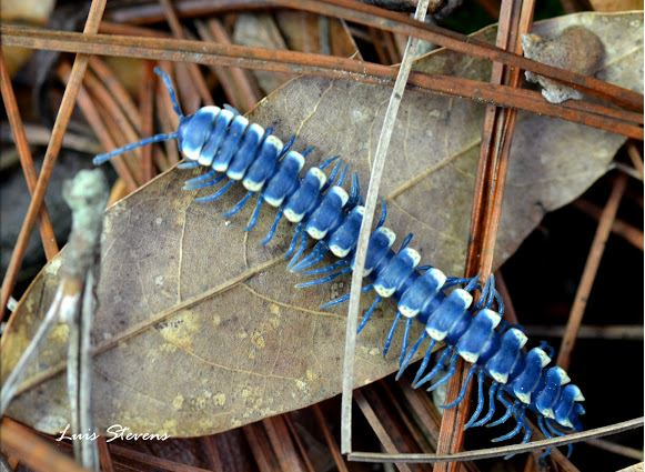 Blue Cloud Forest Millipede, Pararhachistes potosinus (2)