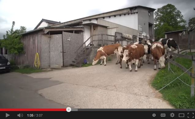 Video: Joyful Cows Saved From Slaughter Will Make Your Heart Melt