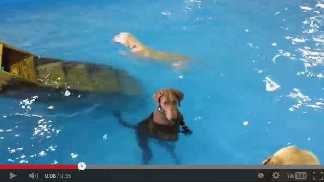 Dog Doesn't Understand the Concept of Swimming