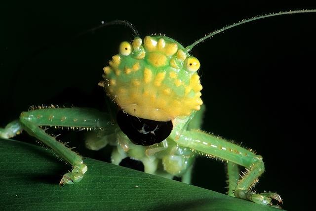 Lirometopum coronatum, pitbull katydid (3)