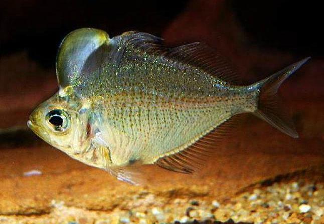 humphead glassfish, Parambassis pulcinella (1)