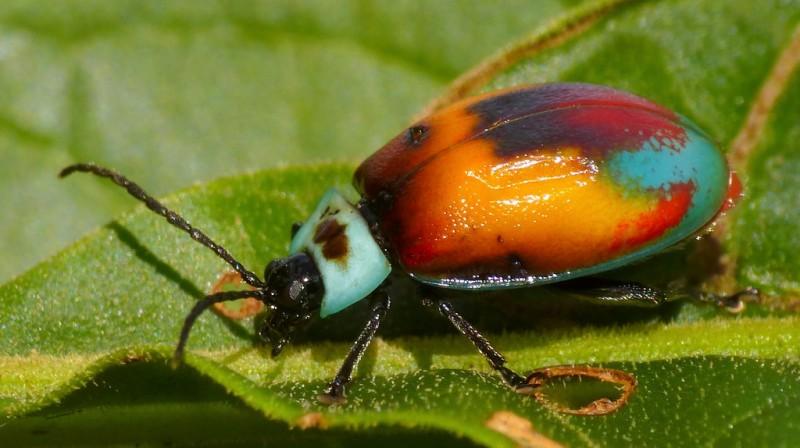 leaf beetle, Aspicela bourcieri (3)