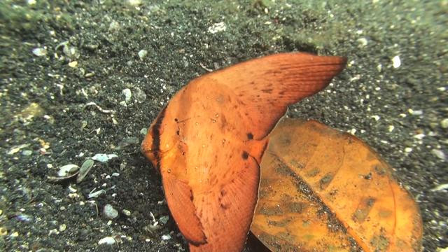 Orbicular Batfish: This Leaf Looks a Little Fishy…