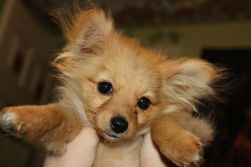 Mixed Breed Spotlight: Pomapoo (Pomeranian Poodle Mix ... Pomeranian Mix