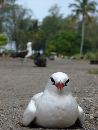 red-tailed tropicbird chick, Phaethon aethereus (9)