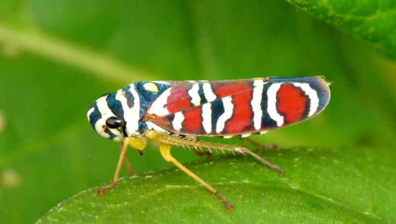 Agrosoma placetis, leafhopper (4)