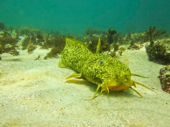 estuary catfish, Cnidoglanis macrocephalus (5)