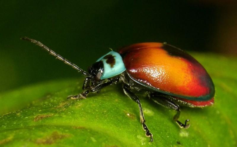 leaf beetle, Aspicela bourcieri (1)