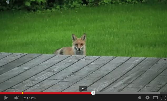 Video: What does the fox (actually) say?!