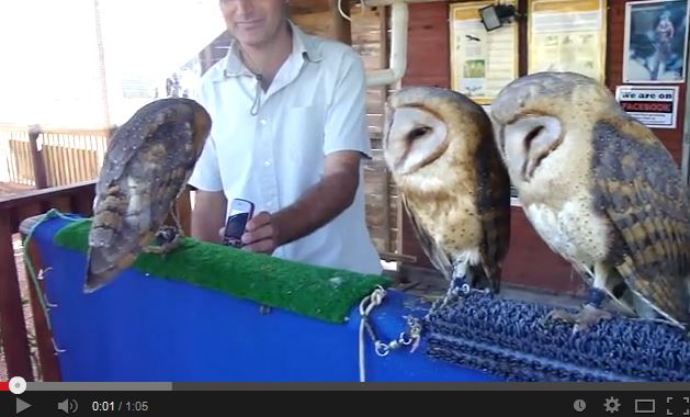 Video: Barn Owls Dance to Ke$ha
