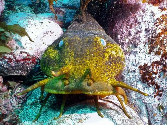 estuary catfish, Cnidoglanis macrocephalus (4)