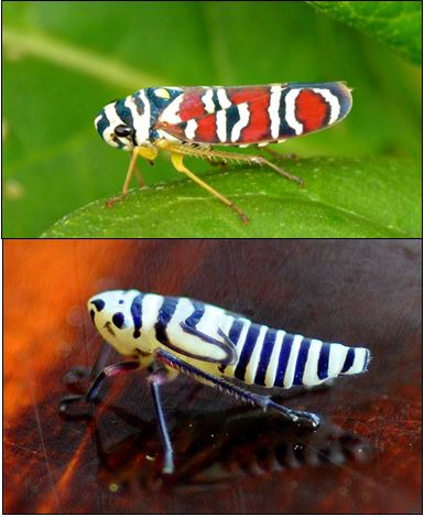 Life lessons from Agrosoma placetis, a Sharpshoot Leafhopper