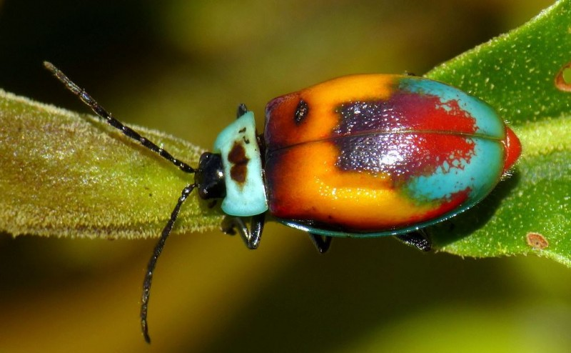 Leaf Beetle of Ecuador is a Living Masterpiece