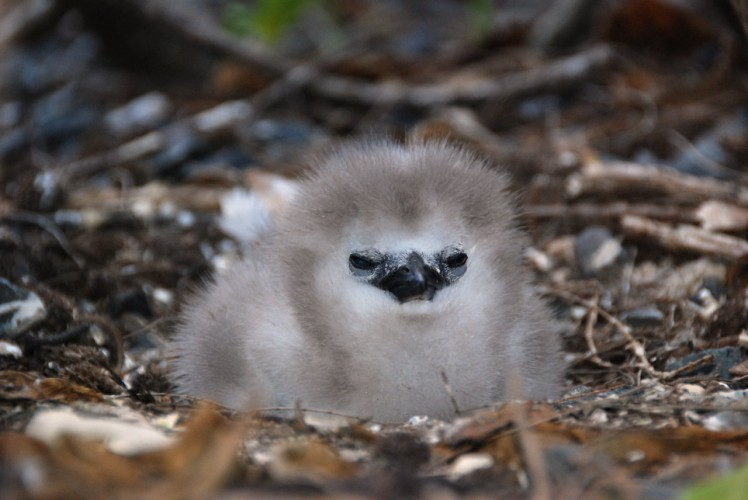 red-tailed tropicbird chick, Phaethon aethereus (6)