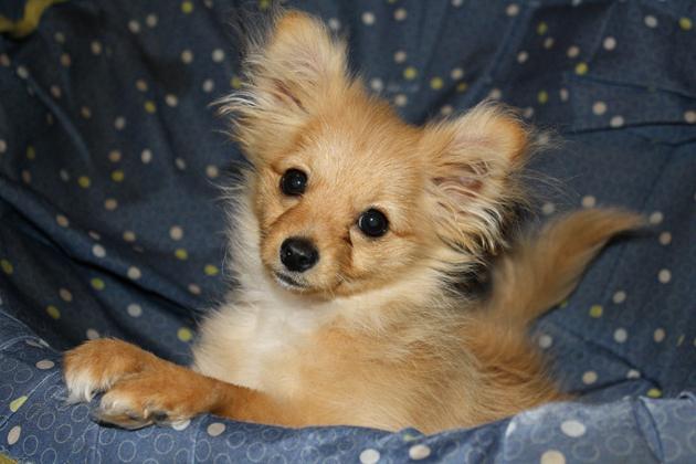 Mixed Breed Spotlight: Pomapoo (Pomeranian Poodle Mix) | Featured ...