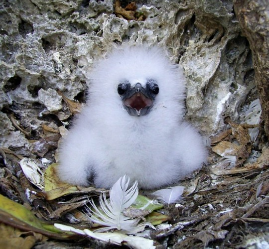 red-tailed tropicbird chick, Phaethon aethereus (2)