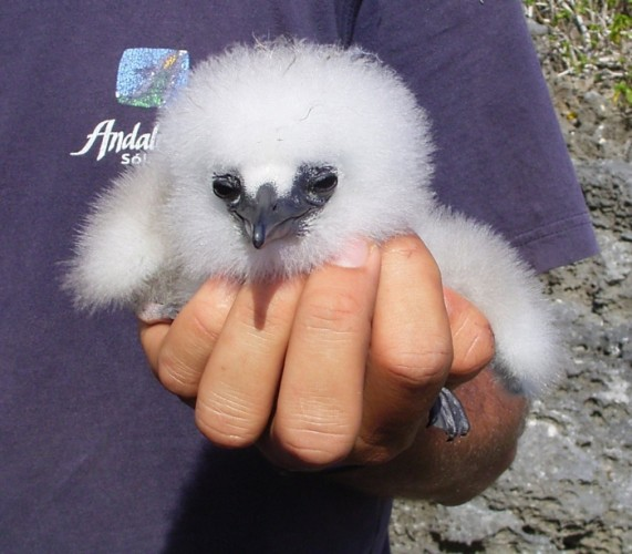 red-tailed tropicbird chick, Phaethon aethereus (3)