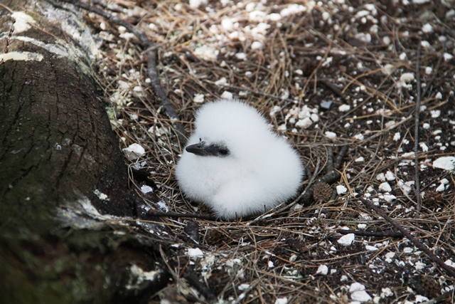 Red-tailed Tropicbirds Walk Like Weirdos But Do Make Cute Babies!