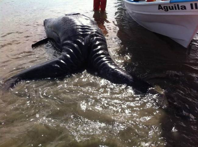 First Ever(?) Conjoined Twin Gray Whales Wash Up in Mexico