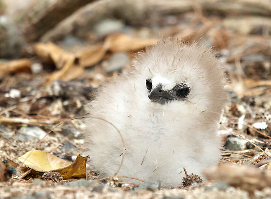 red-tailed tropicbird chick, Phaethon aethereus (5)